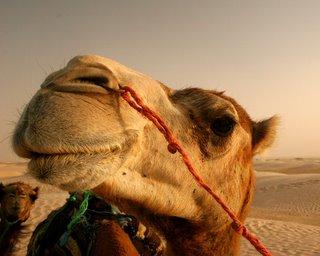 Camels_nose